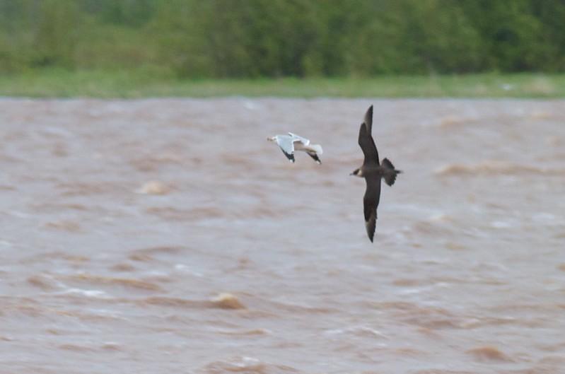 Parasitic Jaeger adult light morph chasing Ring-billed Gull Wisconsin Pt. Bayside Superior WI IMG_1901.jpg