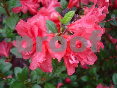 azaleas-blooming-at-christmas