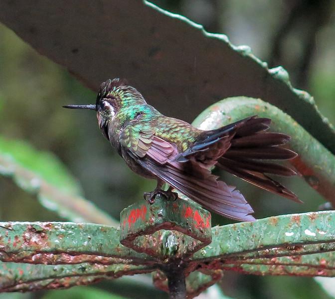Jane L ~ Purple Throated Humming Bird.jpg
