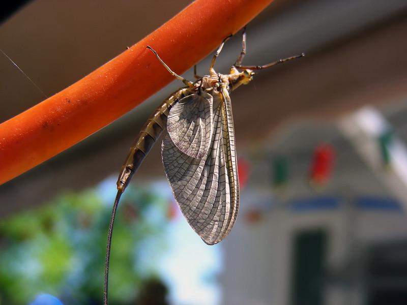 The mayfly hatch kick-started the perch feeding binge.