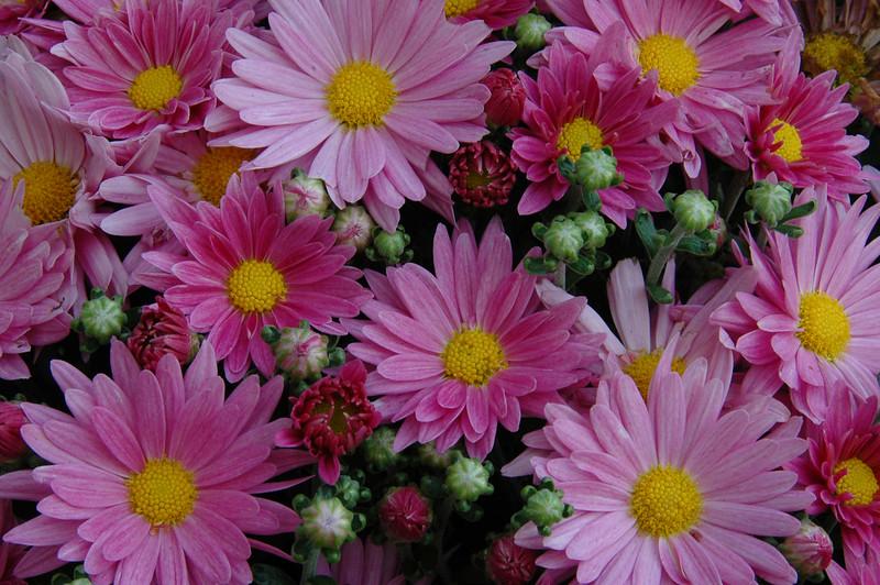 Chrysanthemum (1).JPG
