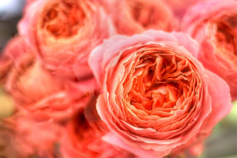 Peach Garden Roses FLW025.jpg