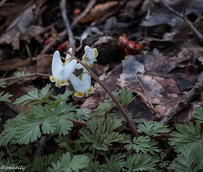 dutchman's breeches 040216.jpg