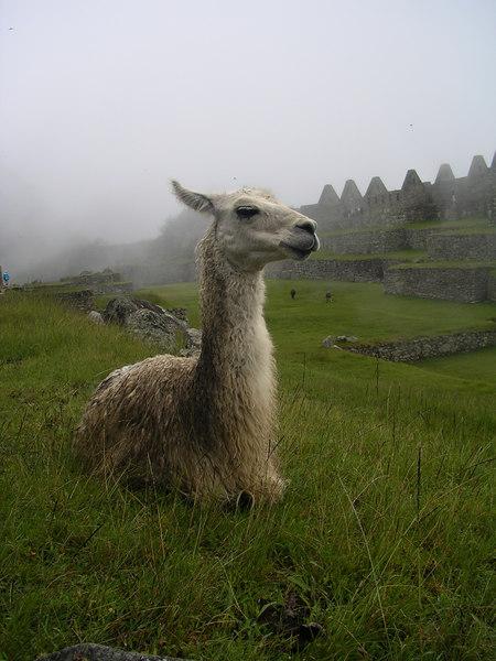 Very proud llama.