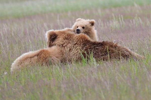 Brown Bears Silver Salmon Creek Alaska in General 2017