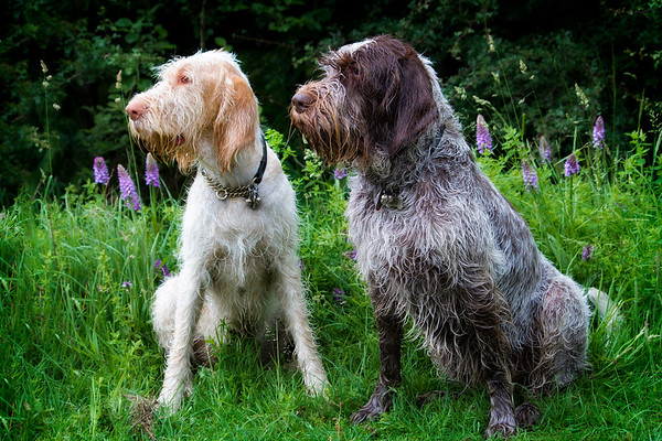 Spinone Robyn and Rosie