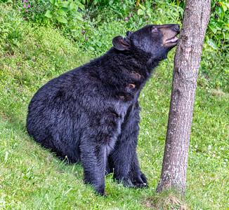 Itchy the Bear, 7-1-20 (D500)