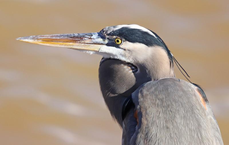 Great-blue heron 776