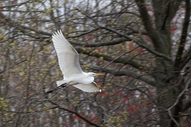 Egrets April 2011