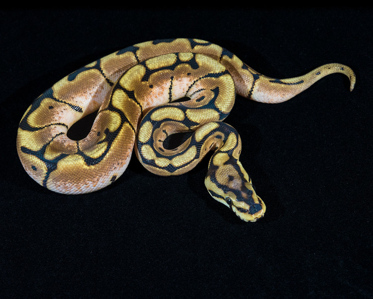 Spider Het Albino F0414, $75, sold Richard H.
