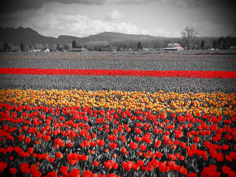 Tulips 08.jpg
