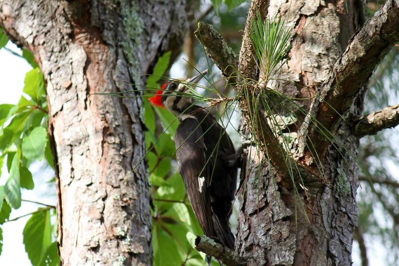 Woodpecker on the EastCoast of Florida