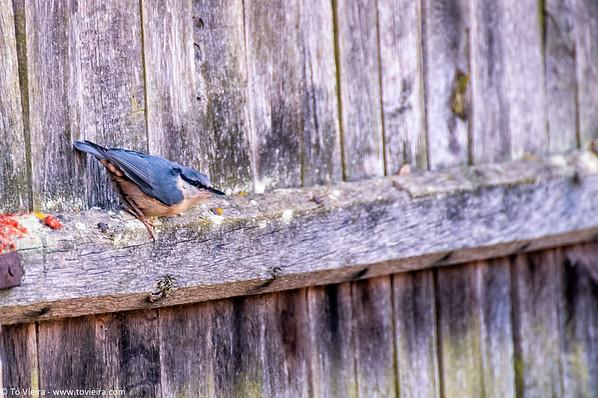 Trepadeira-azul (Sitta europaea)