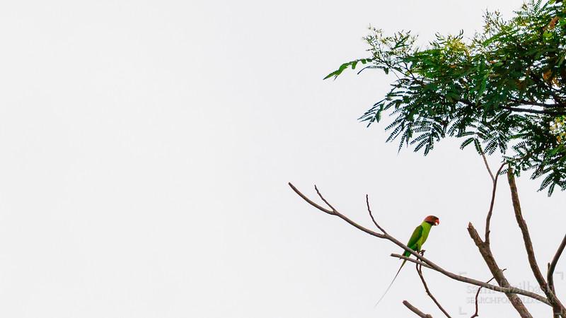 Plum-Headed Parakeet.jpg