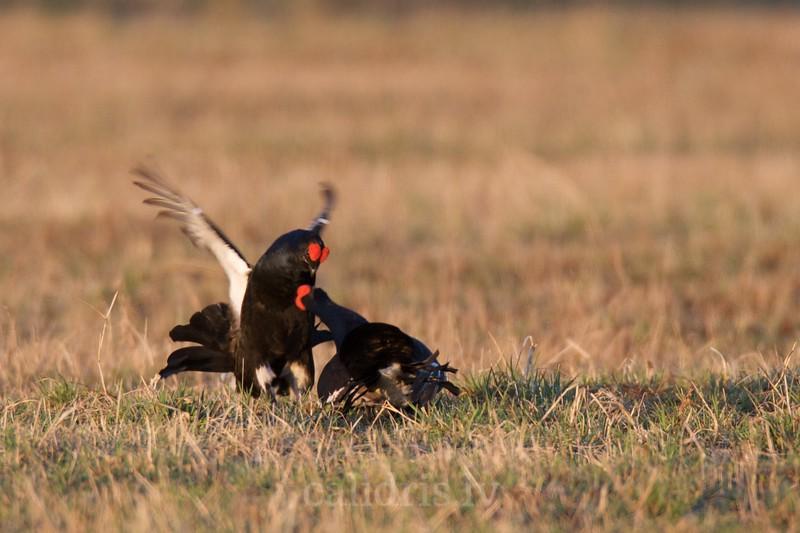 Black Grouse (males) fight on ground in a lek / Rubeņu gaiļi kaujas riestā