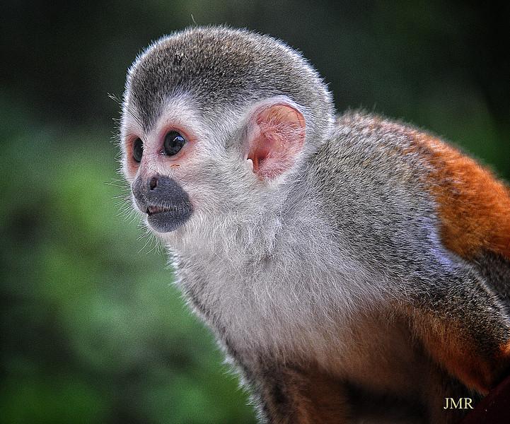 Squirrel monkey Costa Rica y.jpg