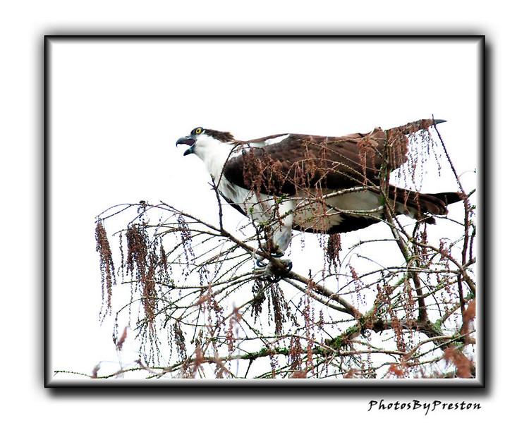 Osprey Calling it's mate