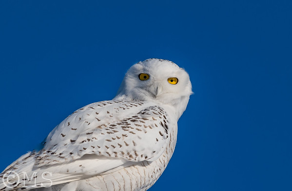 Snowy Owl Image Gallery