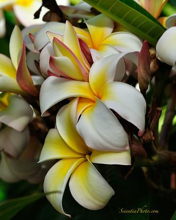 Hawaiian Botanicals