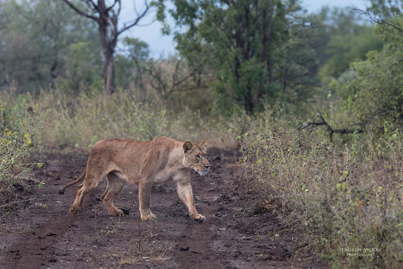 African Lion, Zimanga, South Africa, May 2017-2.jpg