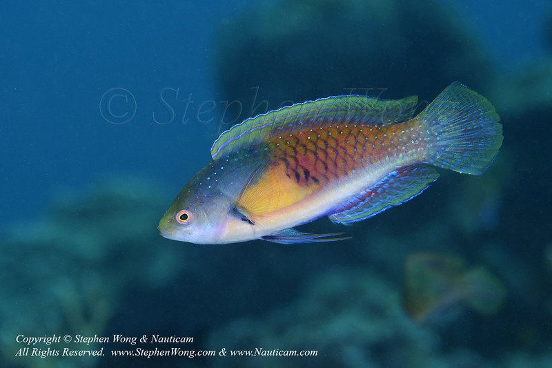 Yellow-flanked Wrasse 02 0419 Stephen WONG.jpg
