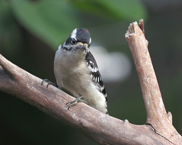 sx50_downy_woodpecker_boas_973.jpg