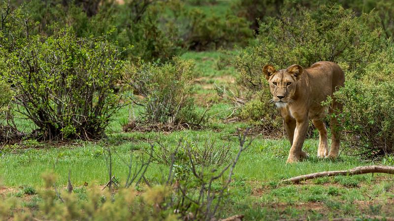 Lions-0105-2.jpg