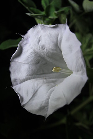 Trumpet Flower by night