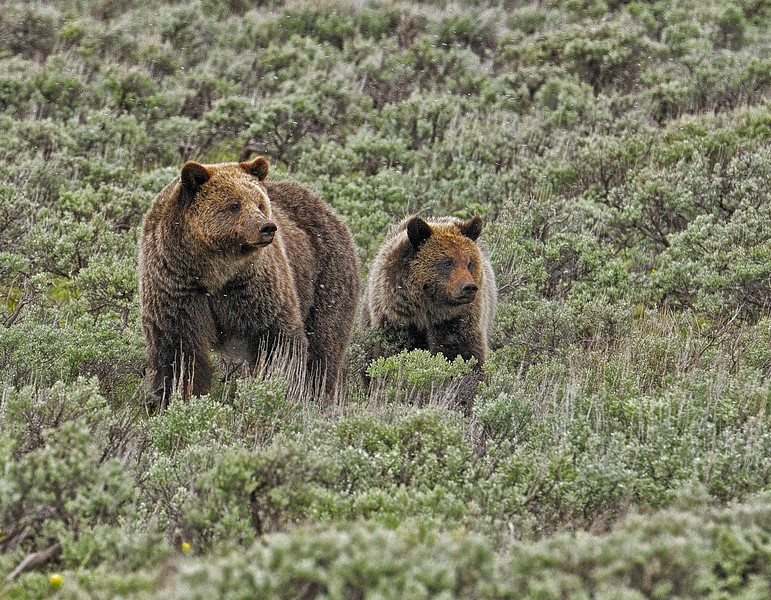 Grizzlies, mom and cub