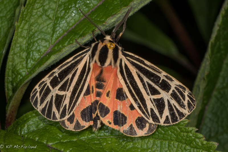 Virgin Tiger Moth (Grammia virgo)