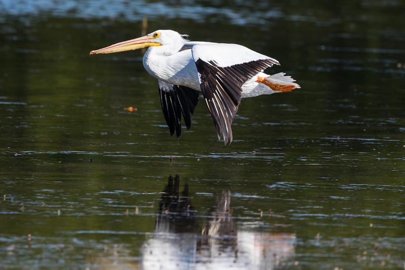 White Pelican So. FL 2020-2.jpg