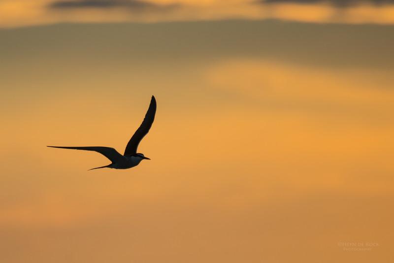 Bridled Tern, Lady Elliot Island, QLD, Dec 2015-7.jpg