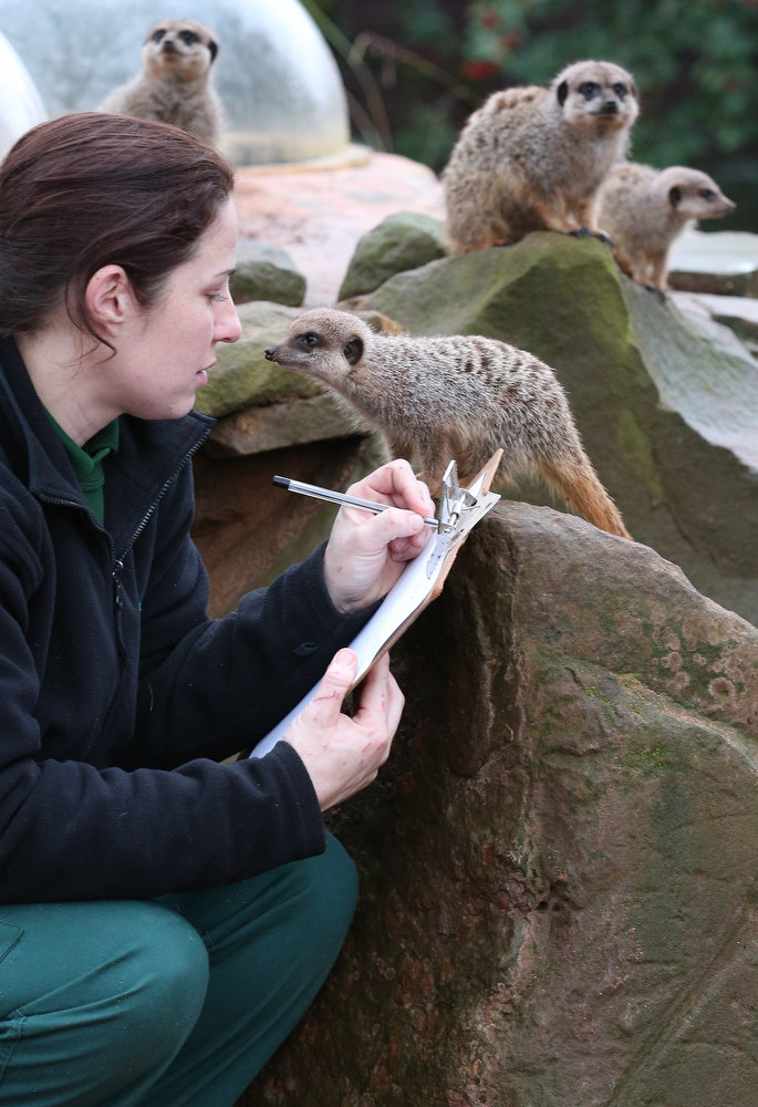 Description of . Keeper Sarah Hall helps count some of the meerkats as part of the annual stock take at Bristol Zoo on January 2, 2013 in Bristol, England. The annual animal 'census' is carried out at the start of each year and includes stocktaking more than 400 species; from tiny insects, fish and birds, to seals, gorillas and monkeys.  (Photo by Matt Cardy/Getty Images)