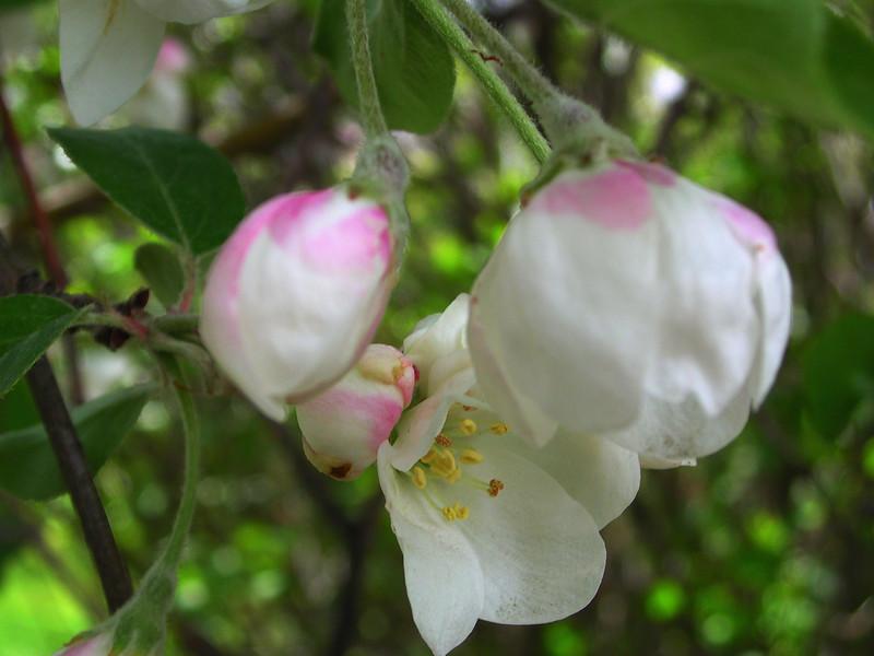 white bloom77.JPG