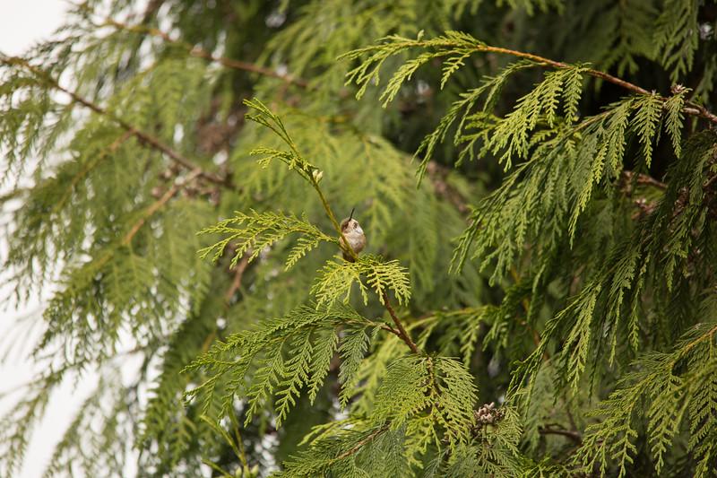 HUMMING BIRDS (22 of 104).jpg