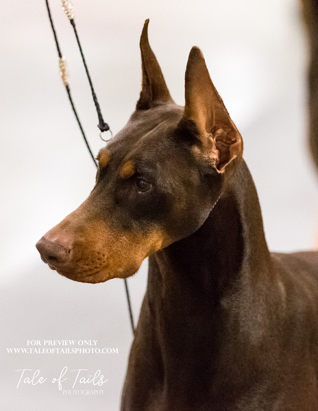 concord dobermans  (178 of 186).jpg