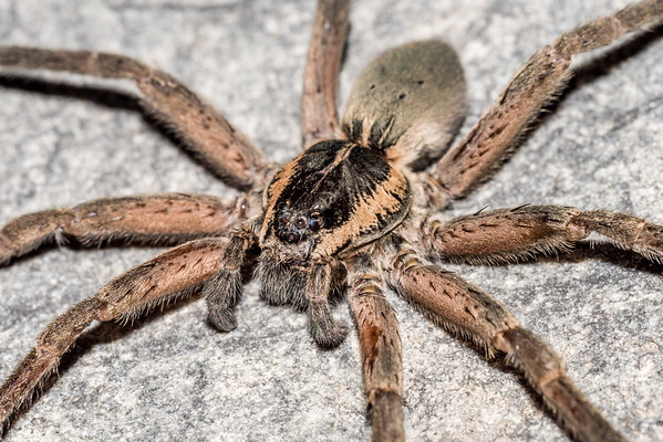 Dolomedes aquaticus - Water spider