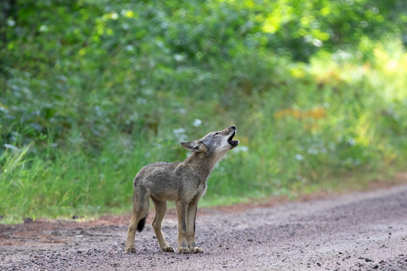 Algonquin Wolf Pup Howling