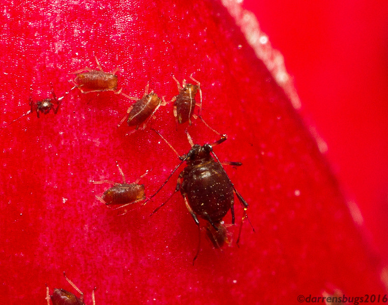 A mother aphid gives live birth in Chiang Mai, Thailand.