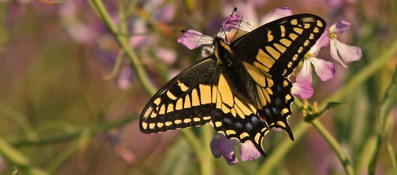 swallowtailpinkbokeh1600.jpg