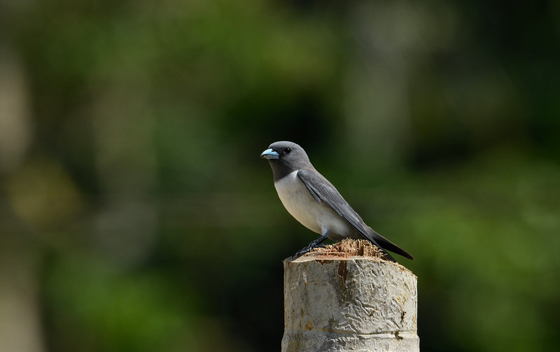 White-breasted-wood-swallow-Andaman.jpg