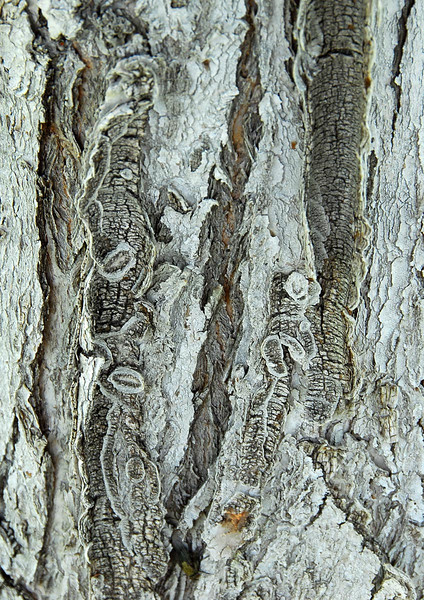 8/3/07 – I would say that I was impressed with the complex abstract texture of this tree but the truth is I really needed a photo for today. It did have some cool bark though.