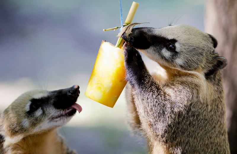 . Red coati (nasua narica rufa) eat iced fruits  in Schoenbrunn zoo in Vienna, July 28, 2013.   REUTERS/Leonhard Foeger