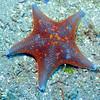 Blue tip star coronado