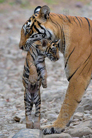 Tiger mother and her cub