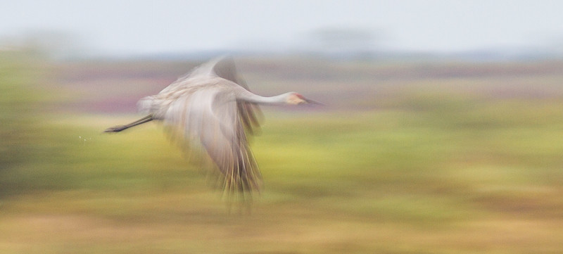 Sandhill Crane motion blur panning flight Crex Meadows Grantsburg WI IMG_0234.jpg