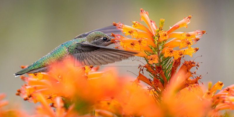 Anna's Hummingbird in South African Garden