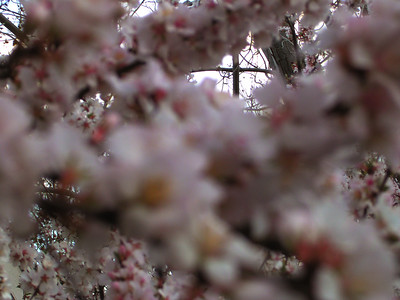 CHERRY BLOSSOM BY RICHARD LAZZARA