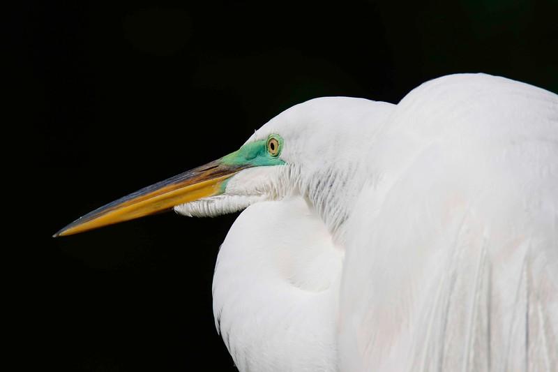 Egret Portrait.jpg