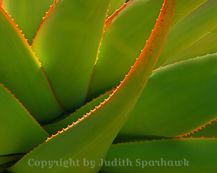 Agave Glow